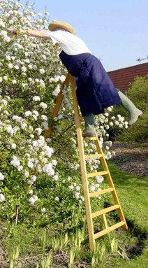 Mann auf Obstbaumleiter